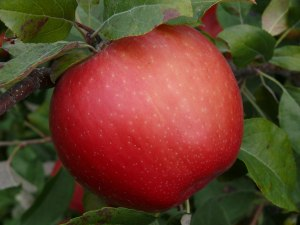 apples_pretty_02_zoom